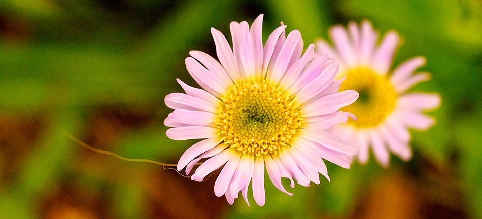 The Alpine Aster flower helps us connect with our essential soul star