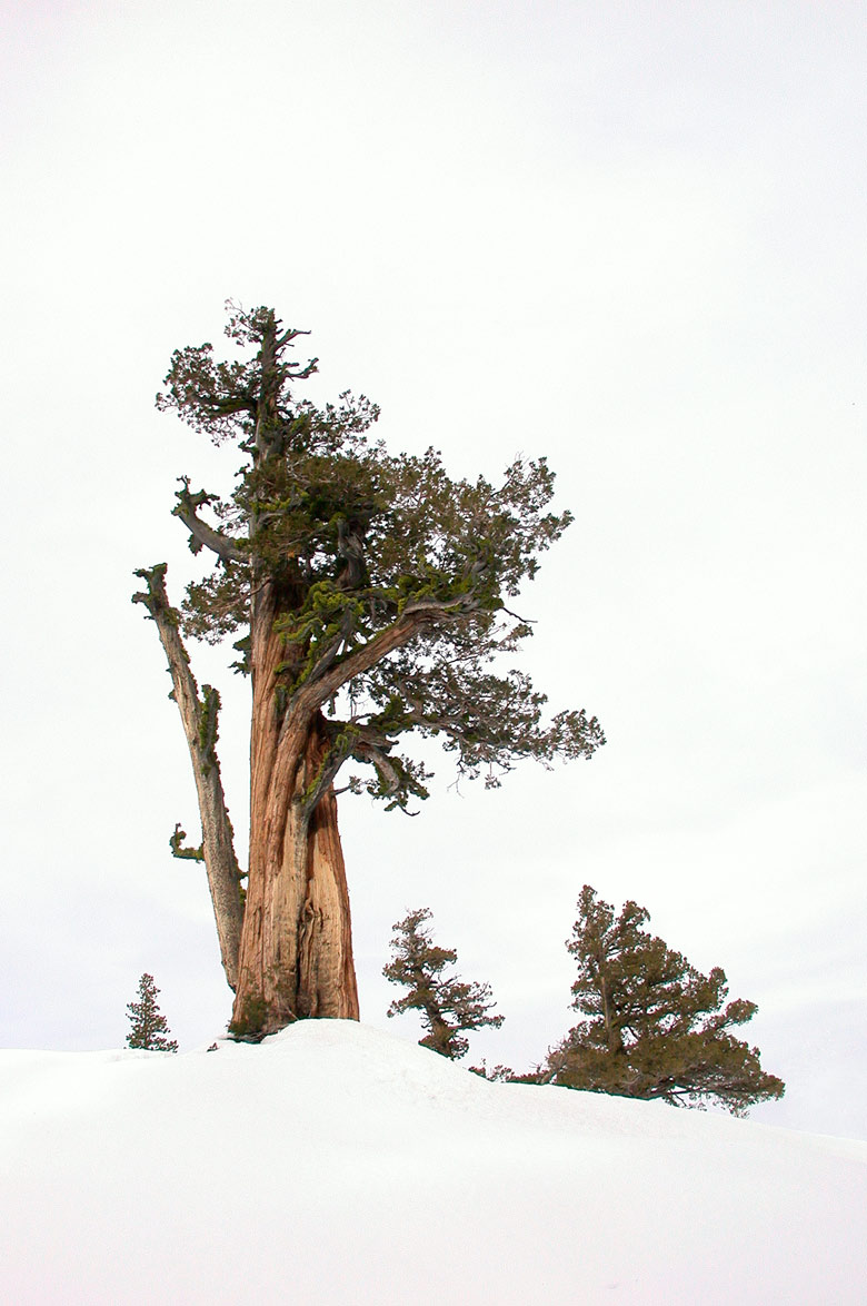 Old tree in the Sierra Nevada - foot Stephen Altschuler