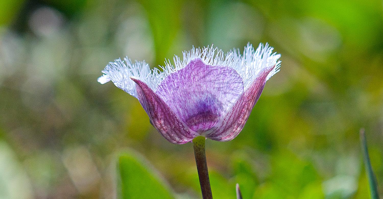 Flowering Plants - Star Tulip flower photo taken by Ruth Toledo Altschuler