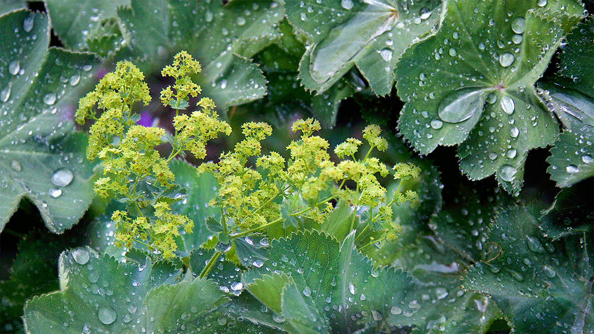 Lady's Mantle plant as it holds dew and moisture on its leaves