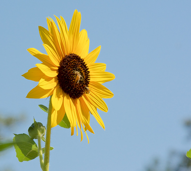 Sunflower, one of the healthy Archetypes for Solar radiance
