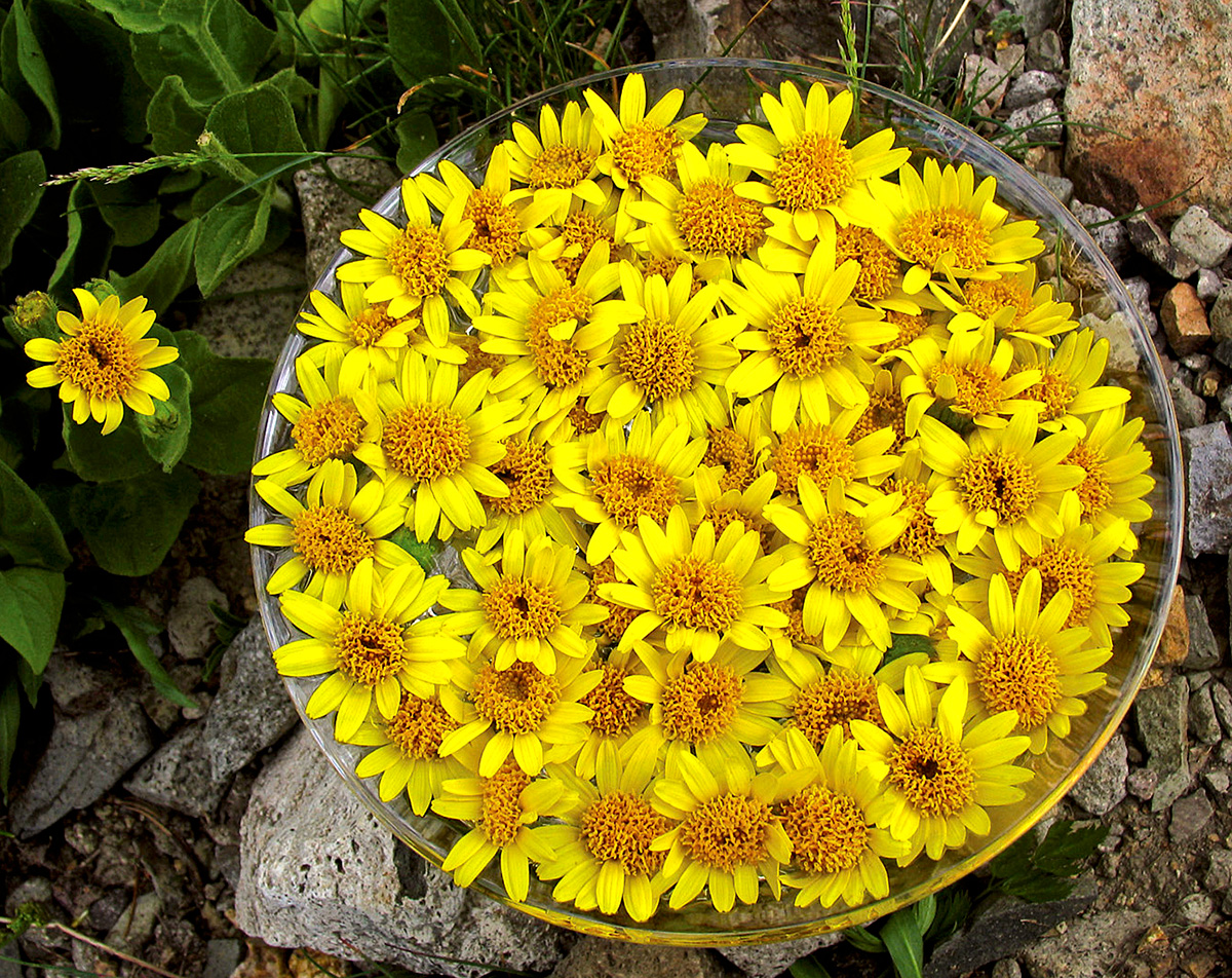 Preparation of the Arnica flower essence by FES
