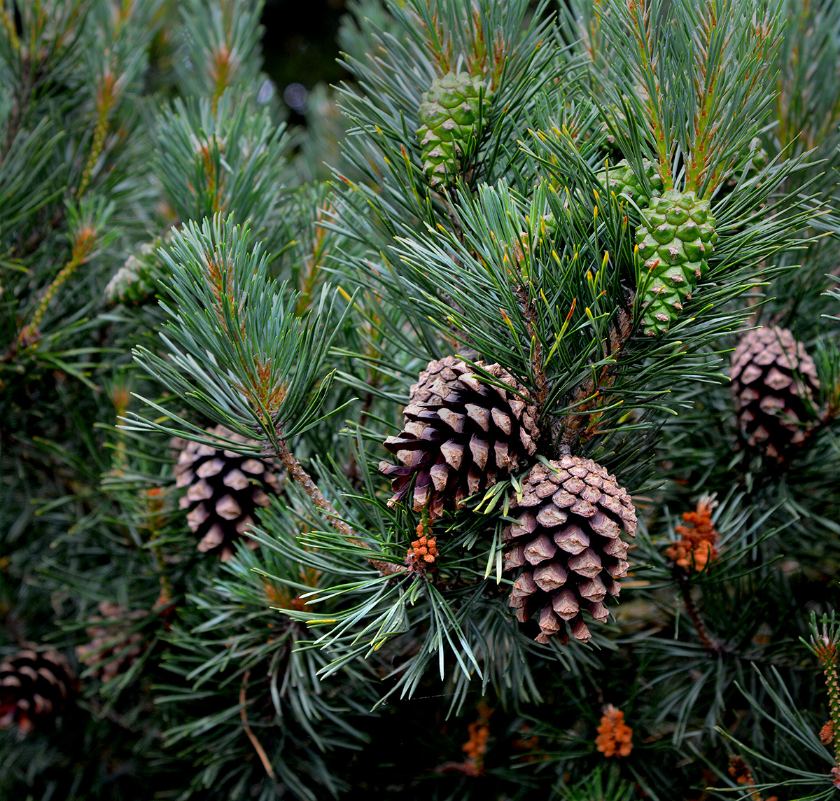Several generations of Pine cones