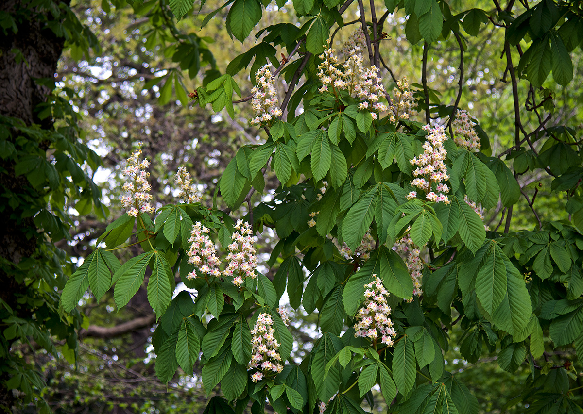 White Chestnut plant with flowers helps quiet the mind