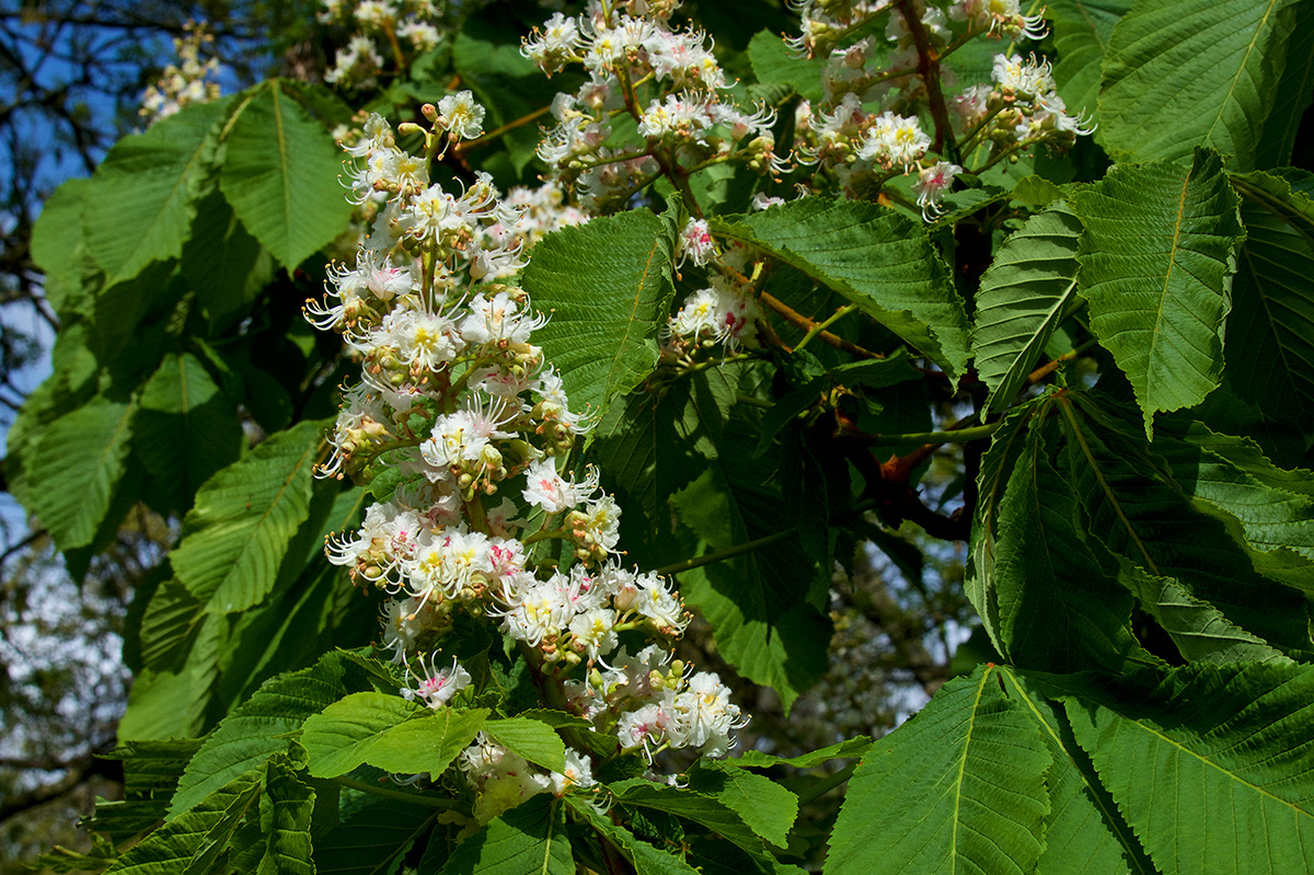 White Chestnut flower on tree
