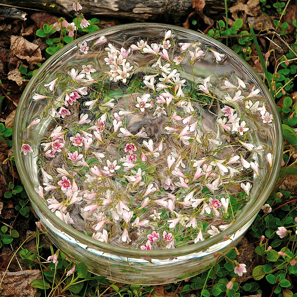 Twinflower bowl while flower essence is being prepared