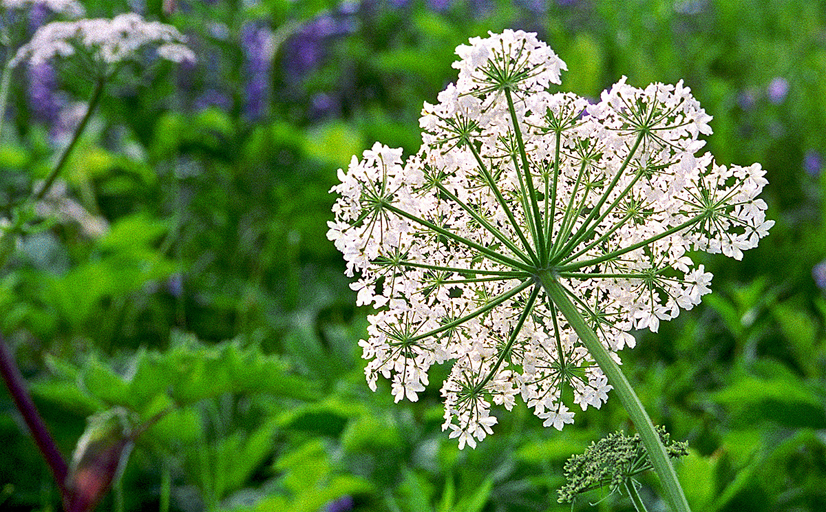 Cow Parsnip flower essence for life transitions