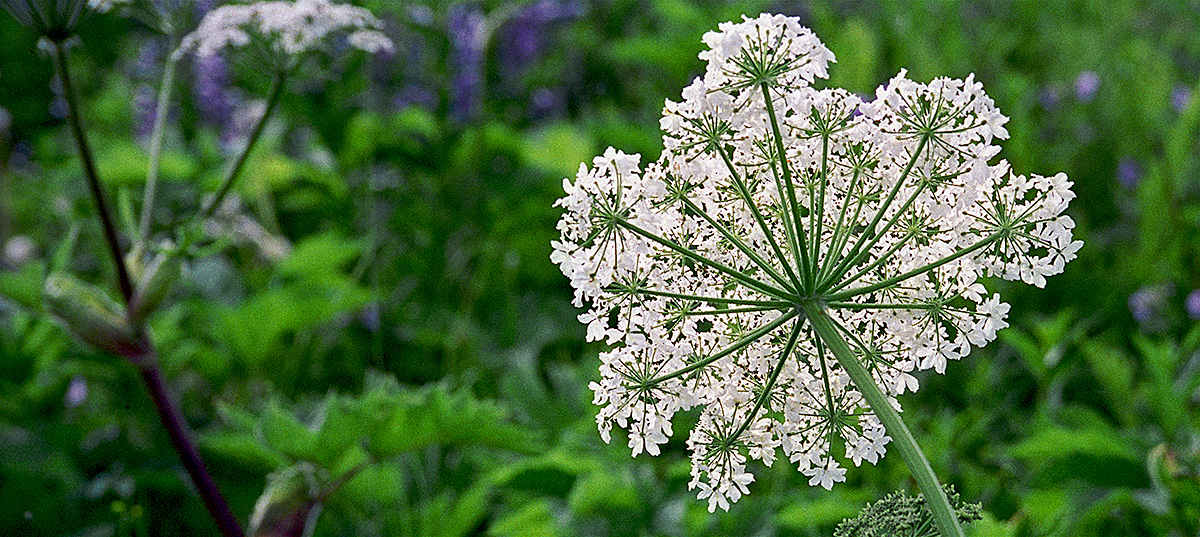 Cow Parsnip flower essence for transitions, serenity in times of change
