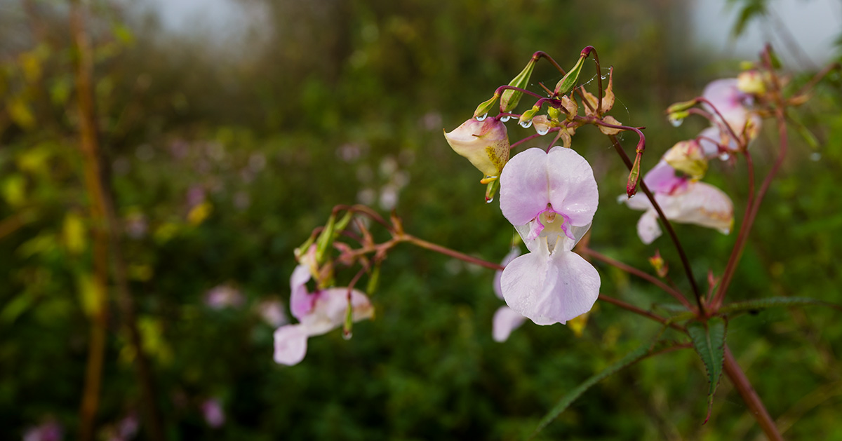 First flower essence impatiens flower