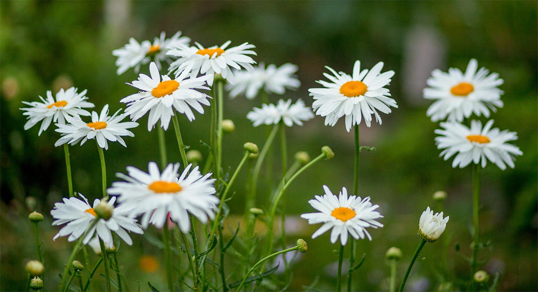 Shasta Daisy group of flowers