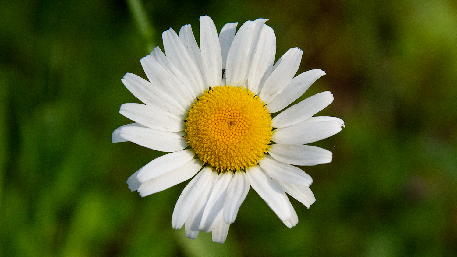 The Shasta Daisy, a species of daisy developed by Luther Burbank, is prepared as a flower essence by FES